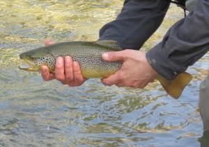 Italian trout